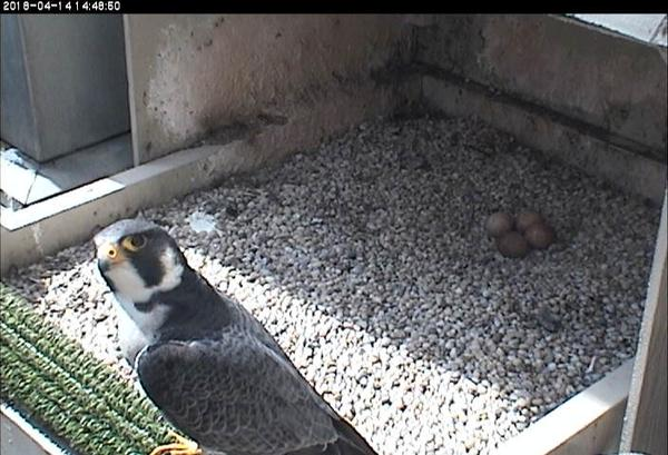 Terzo on a hot day with four eggs and no pips, 14 April 2018 (photo from the National Aviary falconcam at Univ. of Pittsburgh)