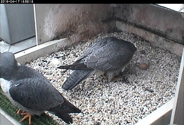 Terzo watches as Hope feeds the chick, 17 April 2018, 4:56pm (photo from National Aviary snapshot camera at Univ. of Pittsburgh)