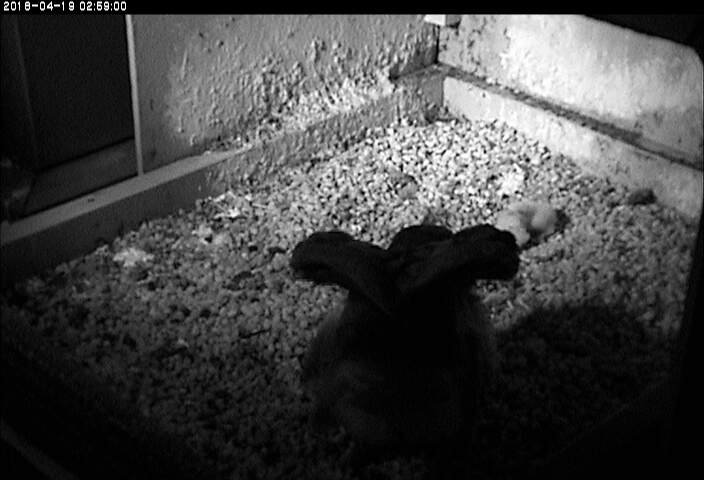 Hope and 2 chicks at 3am, 19 April 2018 (photo from the National Aviary falconcam at Univ of Pittsburgh)