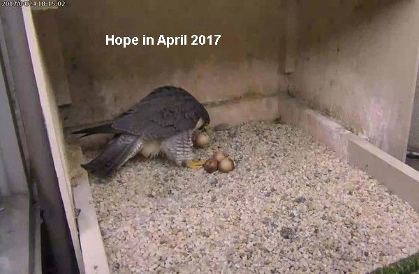 APRIL 24, 2017: Hope picked up her first pipped egg. Later she killed and ate it. (photo from the National Aviary falconcam at Univ of Pittsburgh)