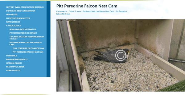 Screenshot of Pitt falconcam in Chrome browser showing Play Button that appears when live video times out