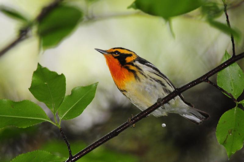 Blackburnian warbler (photo by Steve Gosser)
