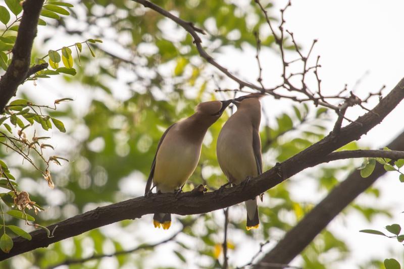 Cedar waxwing pair touching beaks, Schenley Park, 27 May 2018 (photo by Peter Bell)
