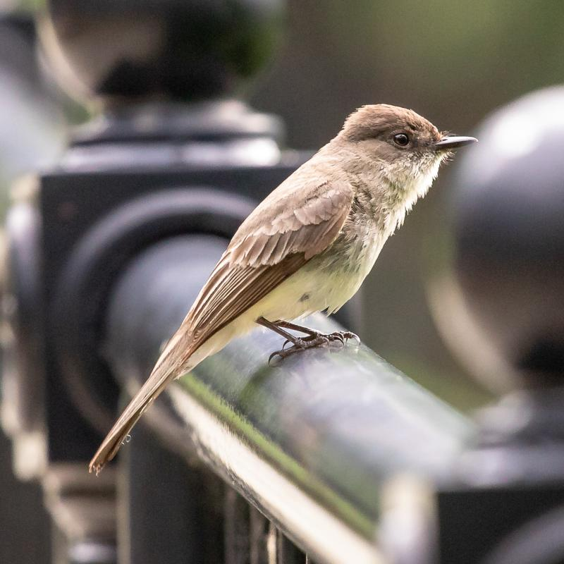 Eastern phoebe, Schenley Park, 27 May 2018 (photo by Peter Bell)