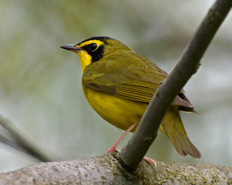 Kentucky warbler (photo by Tony Bruno)