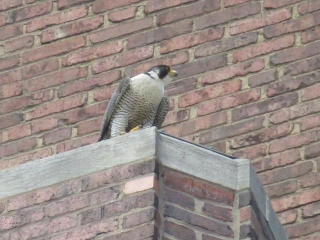 Dori waits at Lawrence Hall across the street from her former nest (photo by Lori Maggio)