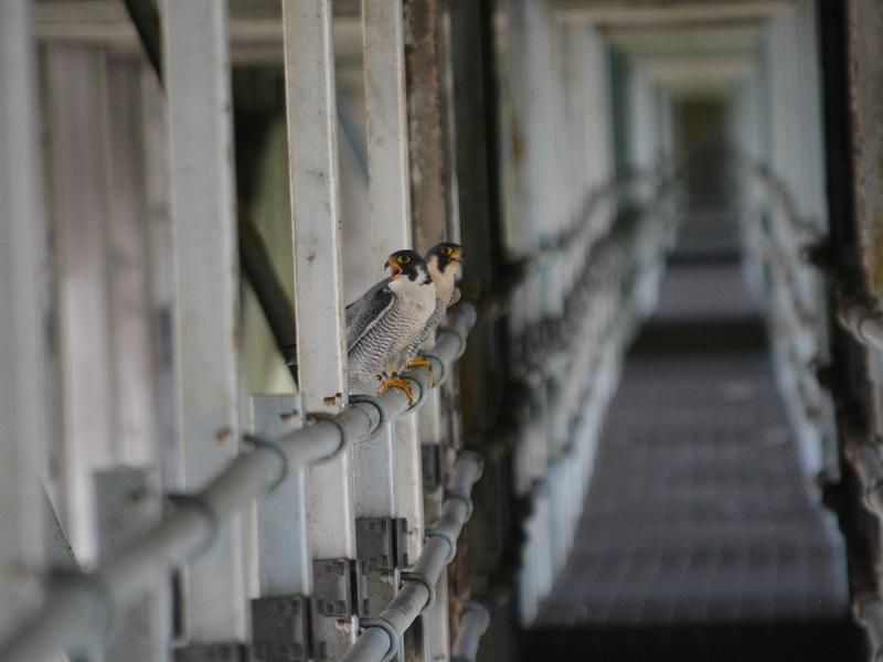 Peregrine adults at Westinghouse Bridge, 10 May 2018 (photo by April Sperfslage, PGC)