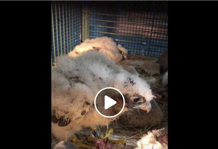 Peregrine chick at Humane Animal Rescue, 15 May 2018 (screenshot from Humane Animal Rescue Facebook page)