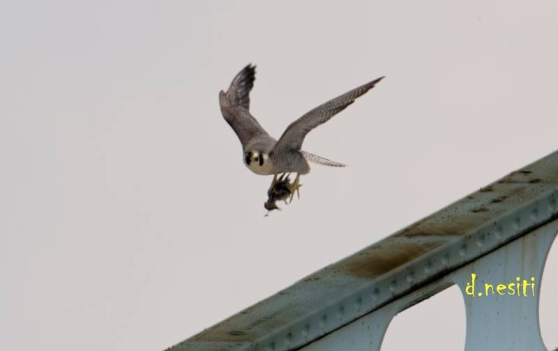 Peregrine falcon carrying food at Elizabeth Bridge, 12 May 2018 (photo by Dana Nesiti)