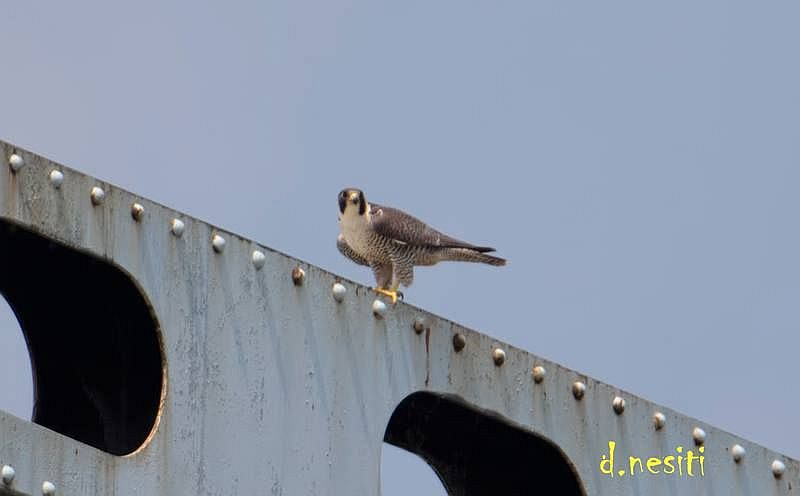 Peregrine perched on Elizabeth Bridge, 12 May 2018 (photo by Dana Nesiti)