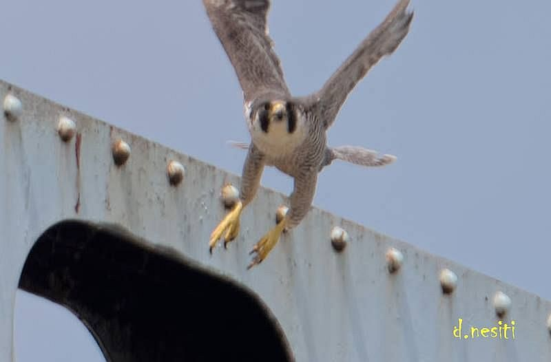 Unbanded adult peregrine at Elizabeth Bridge, 12 May 2018 (photo by Dana Nesiti)