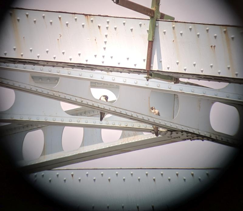 Adult peregrines at the Elizabeth Bridge, 13 May 2018 (photo by Kate St. John)