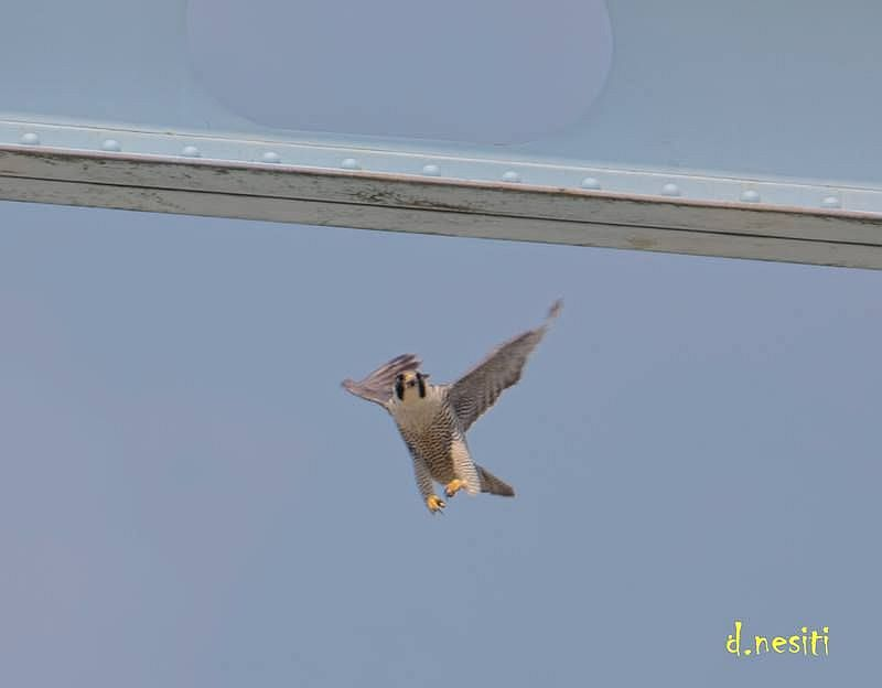Free fall! Peregrine at Elizabeth Bridge, 13 May 2018 (photo by Dana Nesiti)