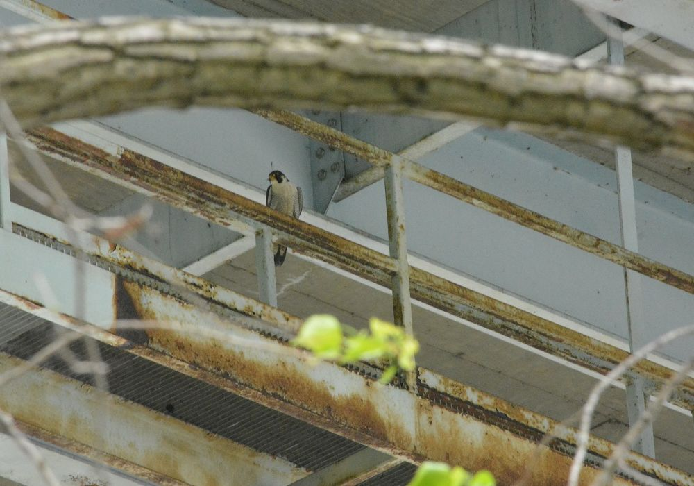 Peregrine at Neville Island I-79 Bridge, 10 May 2018 (photo by April Sperfslage, PGC)