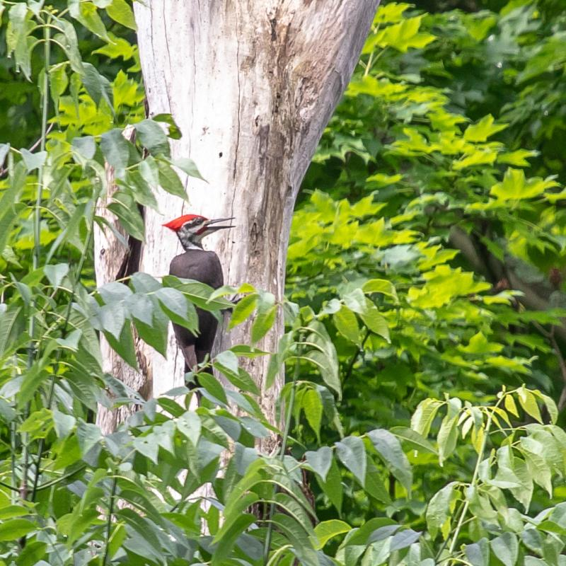 Pileated woodpecker in Schenley Park, 27 May 2018 (photo by Peter Bell)