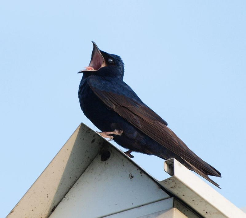 Purple martin male, singing near his nest, Chicago (photo from Wikimedia Commons)