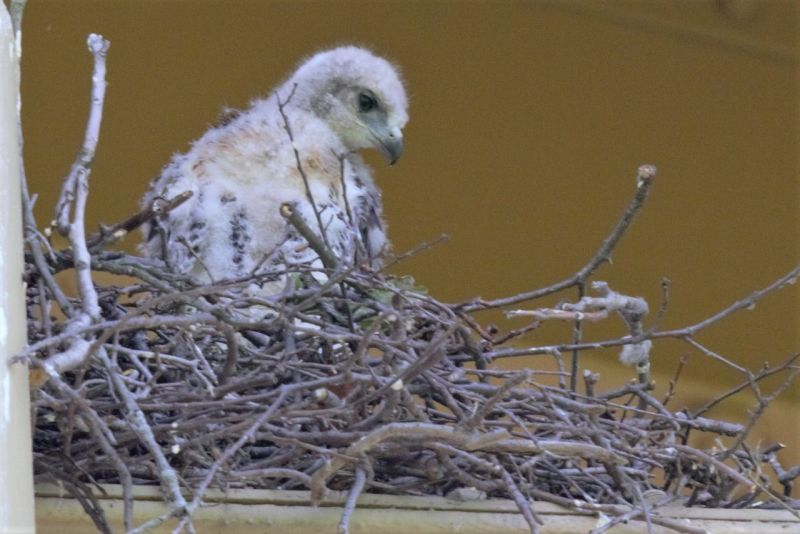 Red-tailed hawk chick, Schenley Park, 21 May 2018 (photo by Gregory M. Diskin)
