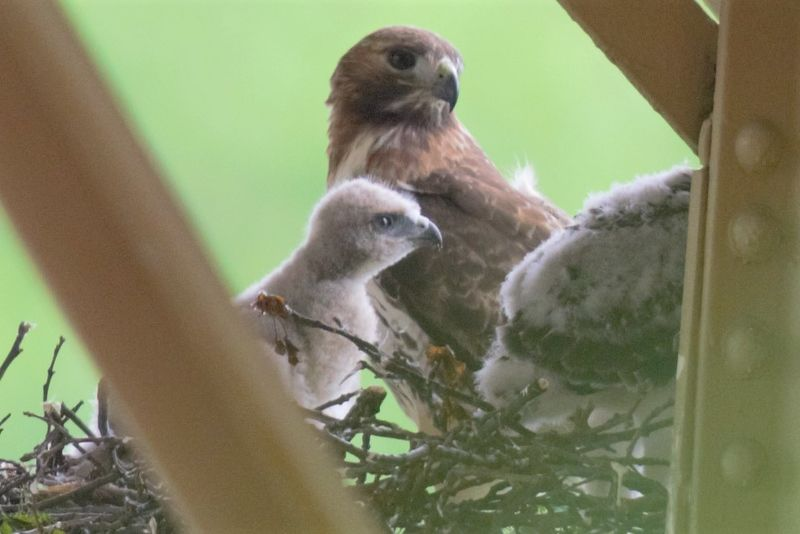 Red-tailed hawk family in a nest in Schenley Park, 14 May 2018 (photo by Gregory M. Diskin)
