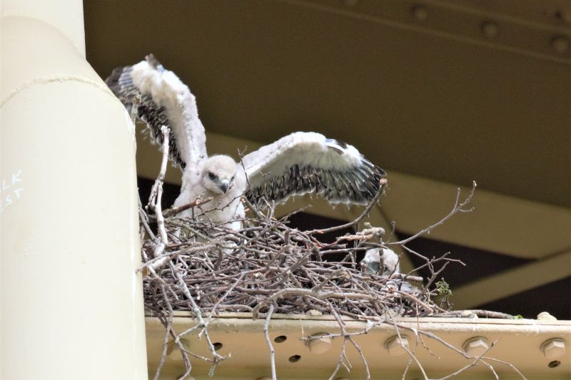 Red-tailed hawk chicks in a nest in Schenley Park, 18 May 2018 (photo by Gregory M. Diskin)