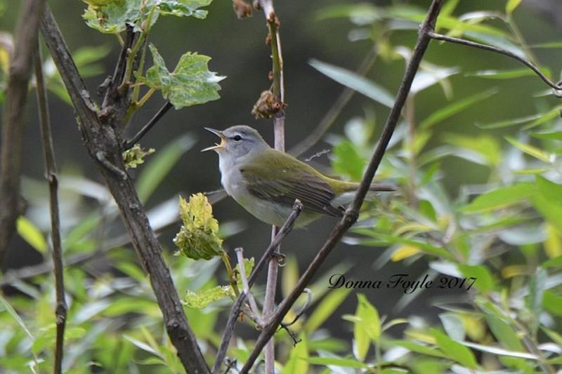 Tennessee warbler (photo by Donna Foyle)