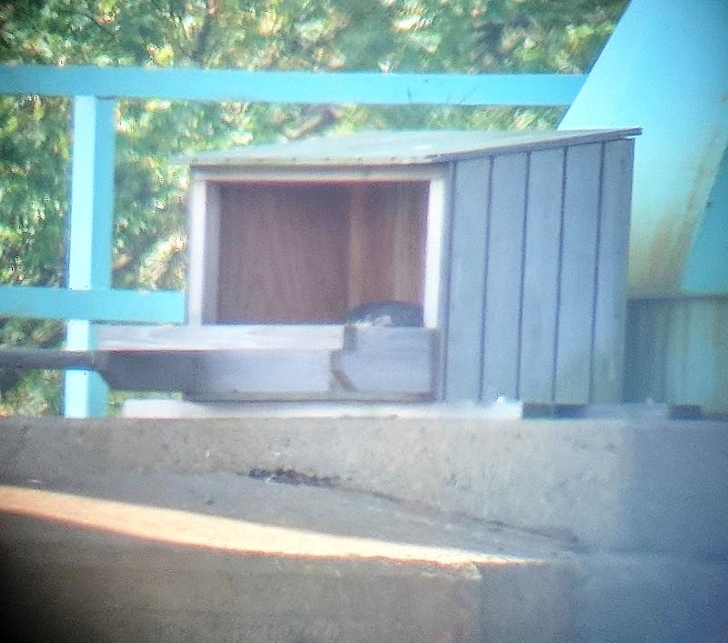 Peregrine incubating or brooding at Tarentum Bridge, 14 May 2018 (photo digiscoped by Kate St. John)