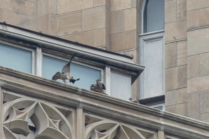 Adult peregrine delivers a meal to two chicks at Pitt, 27 May 2018 (photo by Peter Bell)