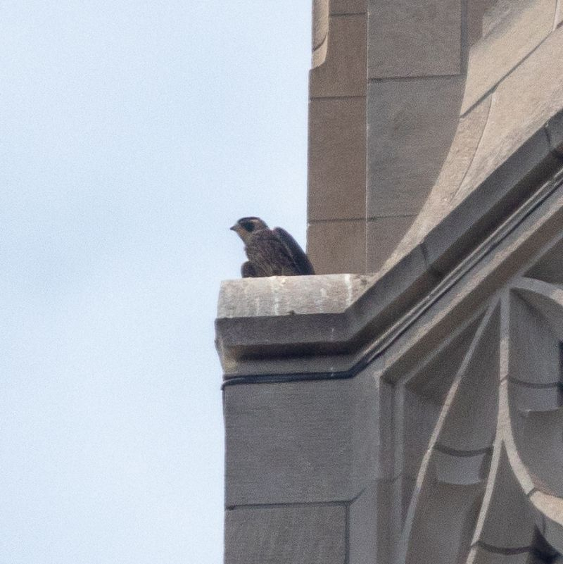 Juvenile peregrine on 38SE stone peak at the Cathedral of Learning (photo by Peter Bell)