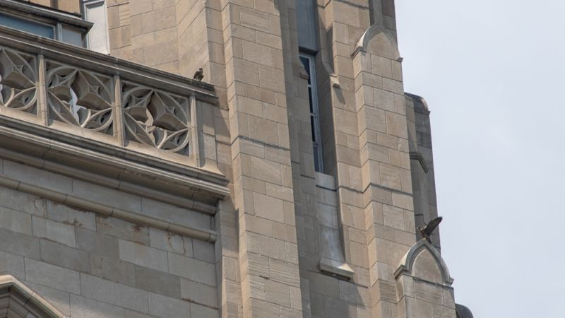 Pitt peregrines: two juveniles near the nest -- one flown, one to go (photo by Peter Bell)