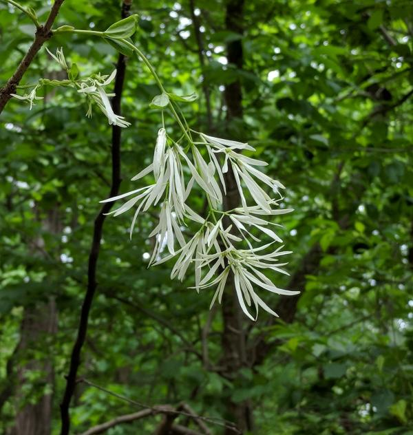 One flower of a fringetree in Schenley Park, 18 May 2018 (photo by Kate St. John)