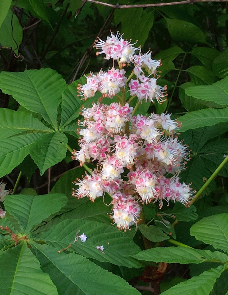 Horse chestnut tree in bloom, Schenley Park, 14 May 2018 (photo by Kate St. John)