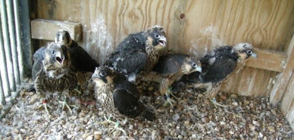 Peregrine chicks in hack box (photo by NPS via Center for Conservation Biology website)