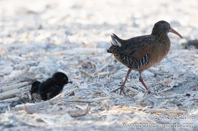 Virginia Rail chicks following parent, 23 April 2018 (photo by Steve Valasek, botheringbirds.com)