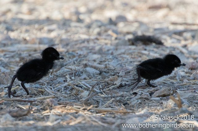 Virginia Rail chicks, 23 April 2018 (photo by Steve Valasek, botheringbirds.com)