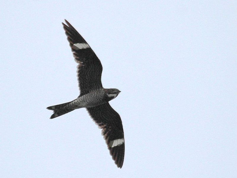 Common nighthawk (photo by Chuck Tague)