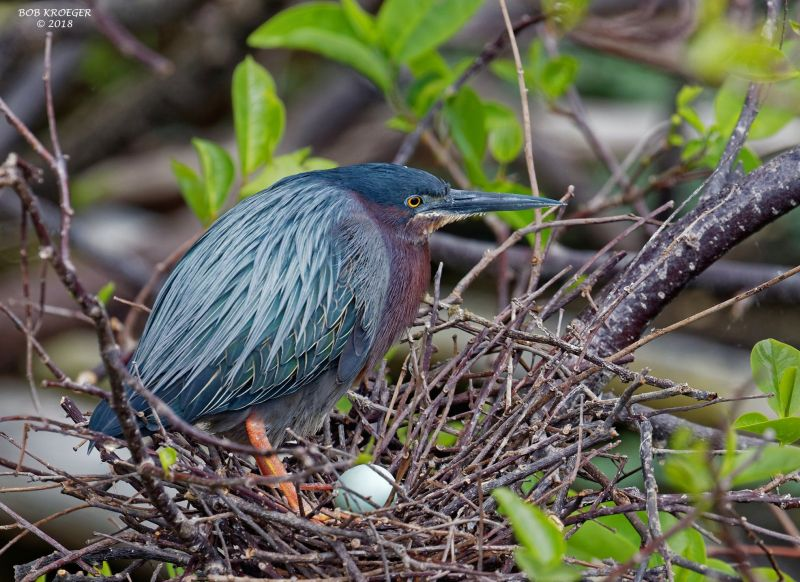 Green heron nesting in Florida, March 2018 (photo by Bob Kroeger)