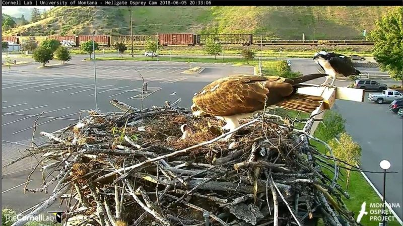 Feeding the chicks at the Hellgate osprey nest, 5 June 2018 (photo from Cornell Lab Hellgate Osprey cam)