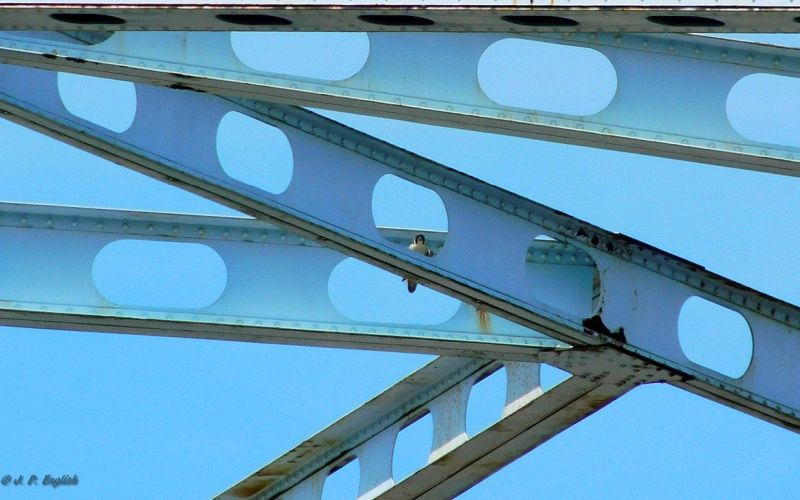 Adult peregrine perched on the Elizabeth Bridge, 3 June 2018 (photo by John English)
