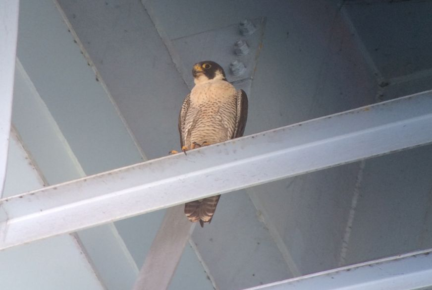 Adult peregrine at Graff Bridge, Manorville, 7 June 2018 (photo by Kate St. John)