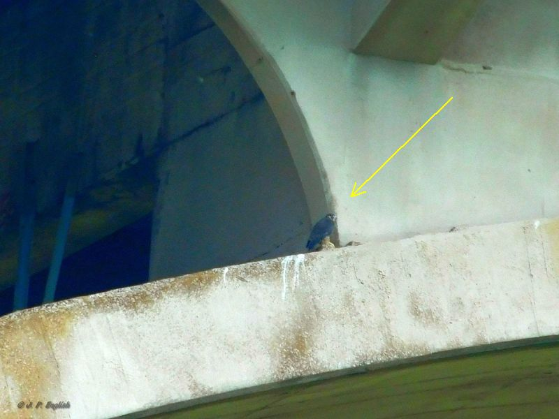 Young peregrine ledge walking at Westinghouse Bridge, 3 June 2018 (photo by John English)