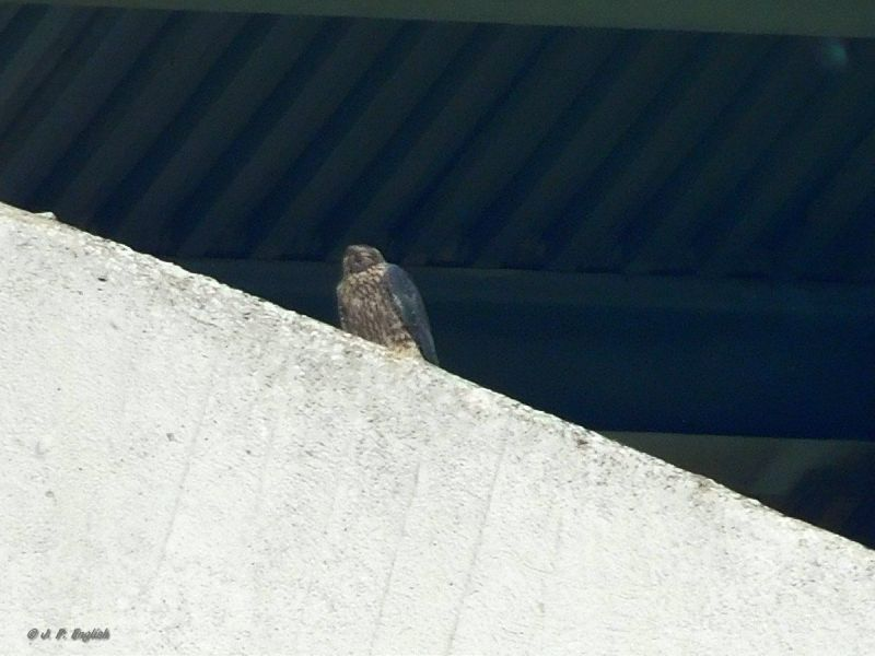 "With his head turned away to look at his mother, juvenile peregrine shows the ""eye spots"" on the back of his head, 3 June 2018 (photo by John English)"