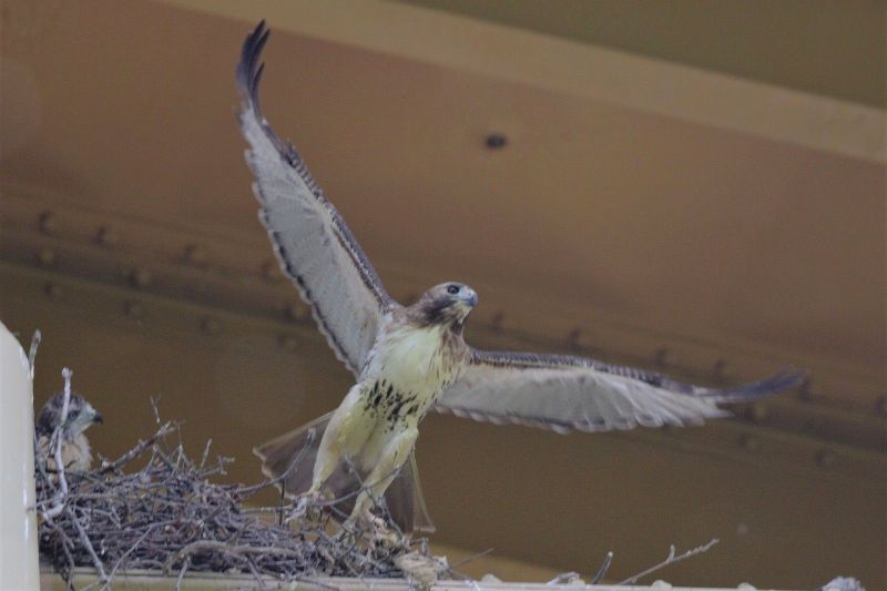 Red-tailed hawk takes off from the nest as a chick watches, 30 May 2018 (photo by Gregory Diskin)
