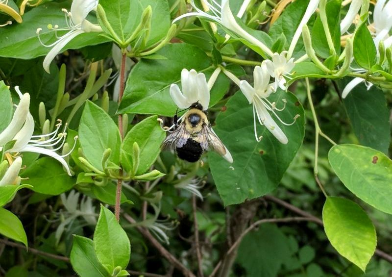 Bumblebee at a white honeysuckle flower, 31 May 2018 (photo by Kate St. John)