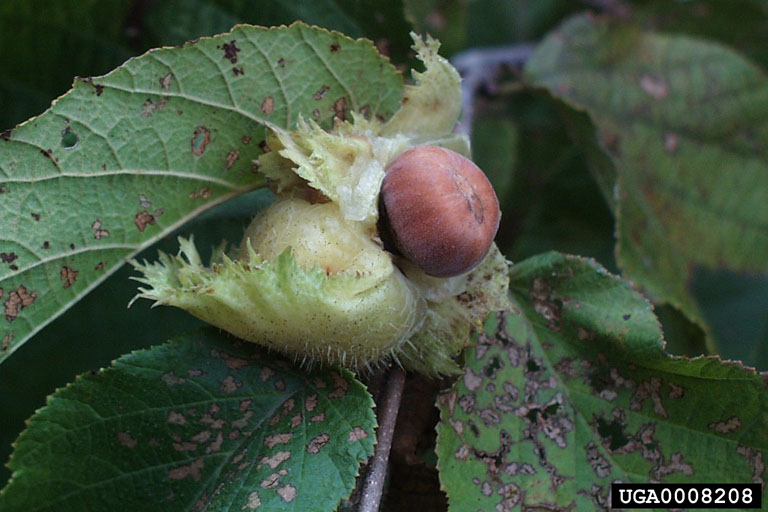 American hazel nut (photo by Paul Wray, Iowa State University via Bugwood.org, Creative Commons license)