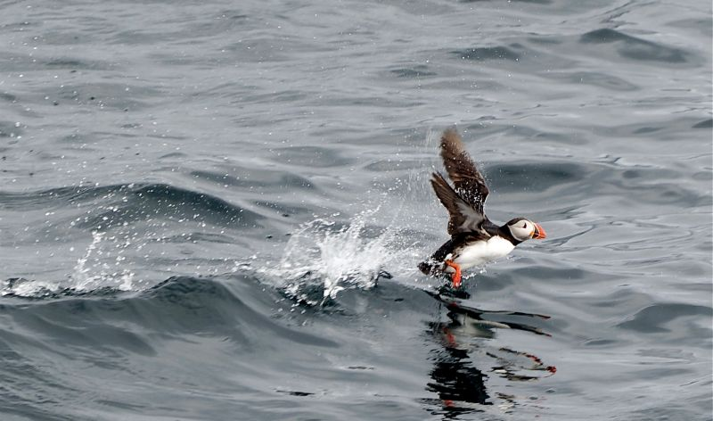 Atlantic puffin in flight (photo by Jörg Hempel via Wikimedia Commons)