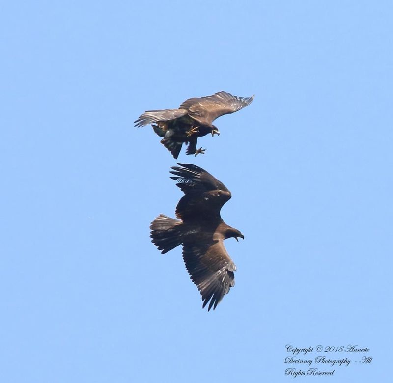 Two juvenile bald eagles play in the sky, Harmar Twp, PA, 1 July 2018 (photo by Annette Devinney)