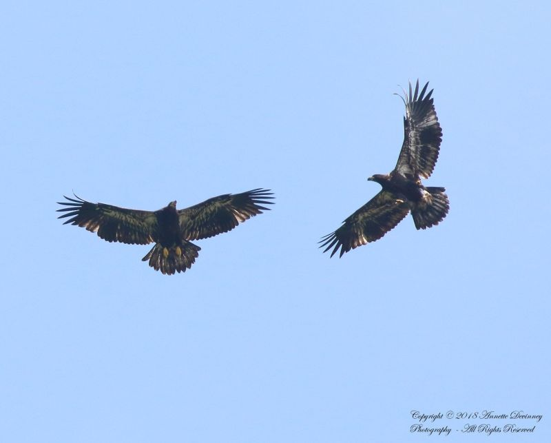 Juvenile bald eagles in flight near their Harmar Twp nest, 1 July 2018 (photo by Annette Devinney)