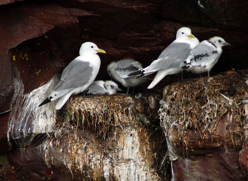 Black-legged kittiwakes nesting on Gull Island, Witless Bay, NL (photo from Wikimedia Commons)