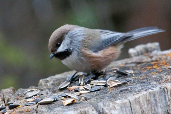 Boreal chickadee (photo from Wikimedia Commons)