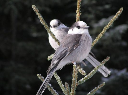 A pair of Canada Jays in Canada (photo from Wikimedia Commons)