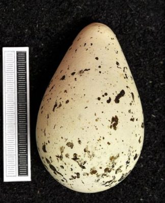 Murre egg at Museum Wiesbaden (photo from Wikimedia Commons)